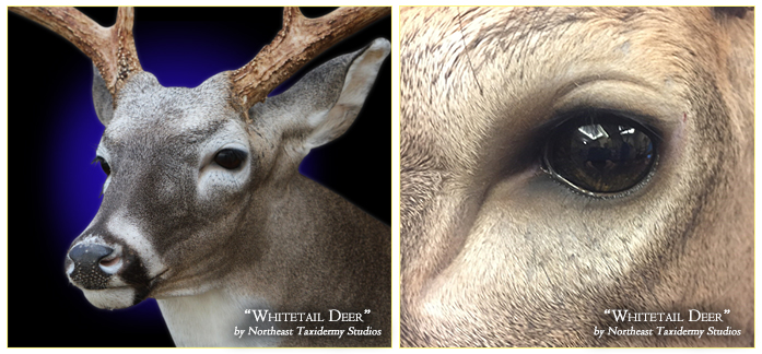 Whitetail Deer Mounts in CT, Connecticut Whitetail Deer Taxidermy